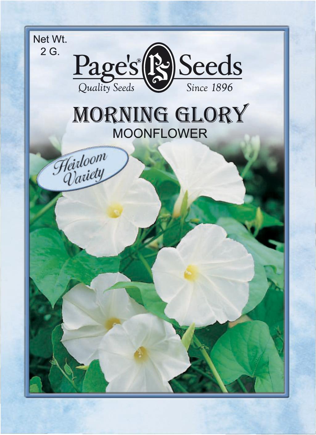Morning Glory Moonflower